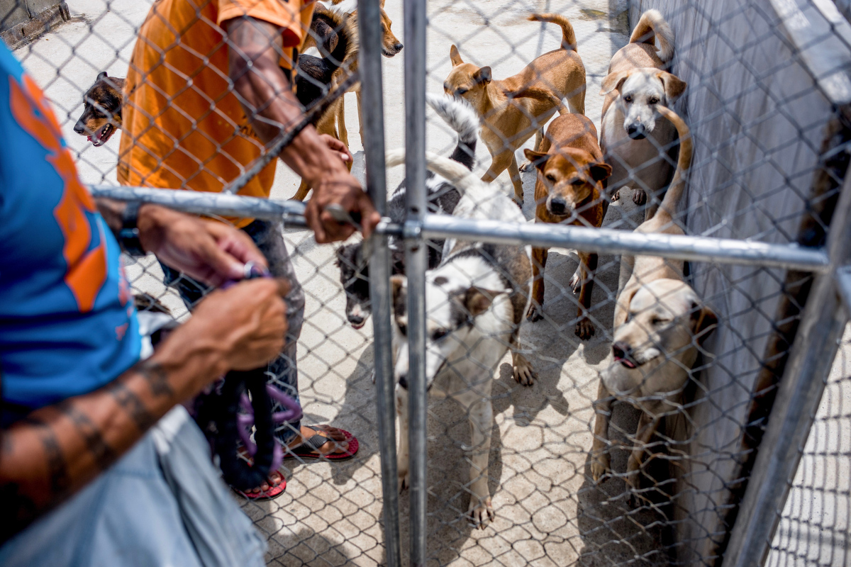 Curtis Brown enters the kennel to take one of the dogs out for behavior training. In all his years working with troubled and distressed dogs, Brown says he's only been bitten once.