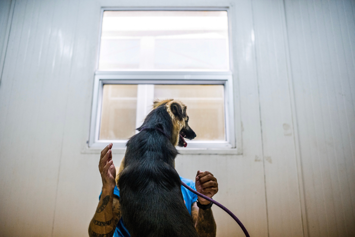 Curtis Brown takes one of the dogs he trains on a daily basis through a series of behavioural tests.