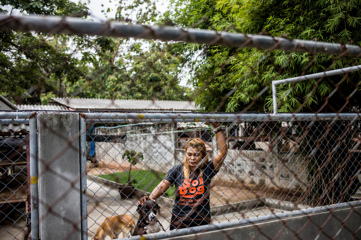 Dogs eagerly await as vacationing volunteers arrive at the shelter to walk them.