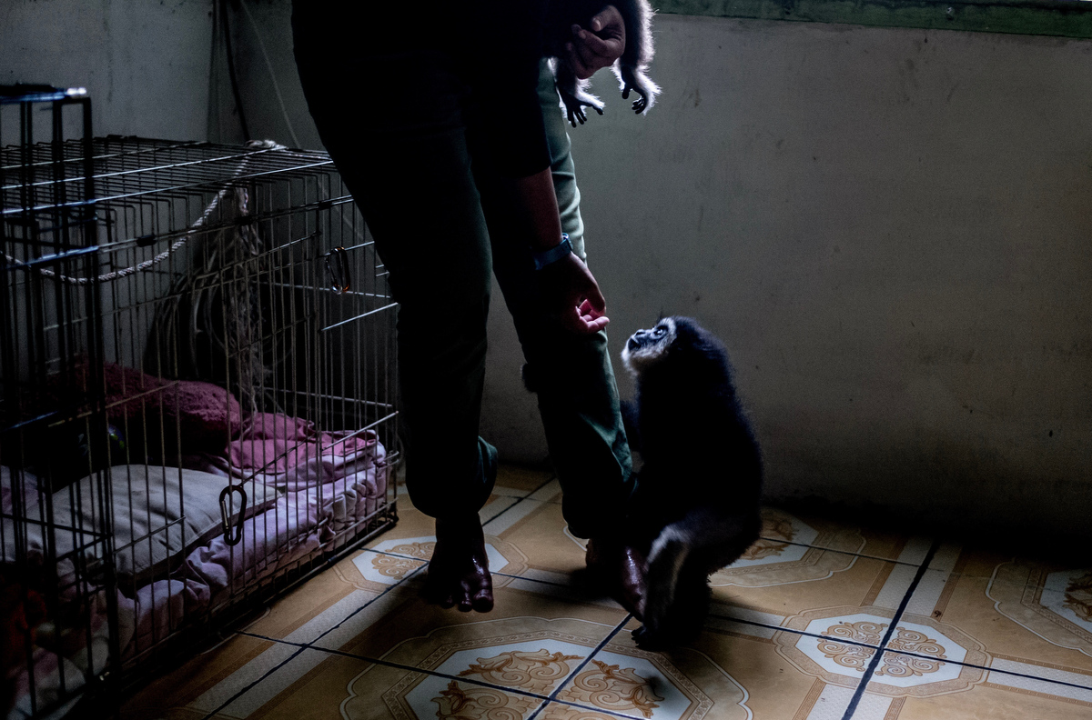 As she crusades to save gibbons throughout Malaysia from the harsh conditions of the illegal pet trade, she has had her life threatened several times.