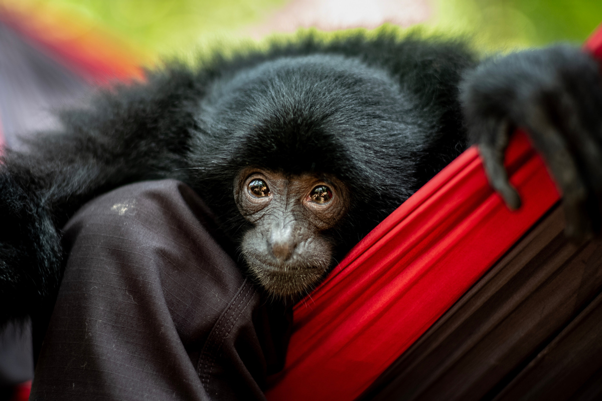A siamang gibbon visits the center to play with the other gibbons.