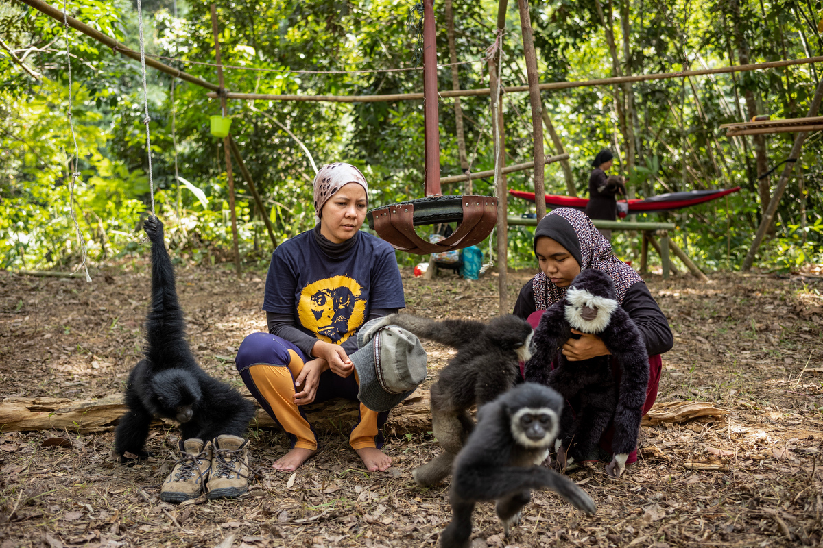 """There are three species of gibbons, also called """"small apes"""", in Peninsular Malaysia: the white-handed gibbon, dark-handed or agile gibbon, and the siamang. One additional species, Müller's Bornean gibbon, lives in East Malaysia."""