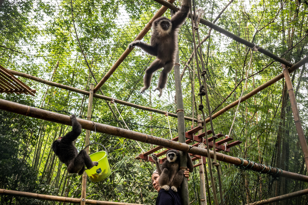 Gibbons are arboreal, meaning they spend most of their time up in the tree tops and rarely come down to the ground.