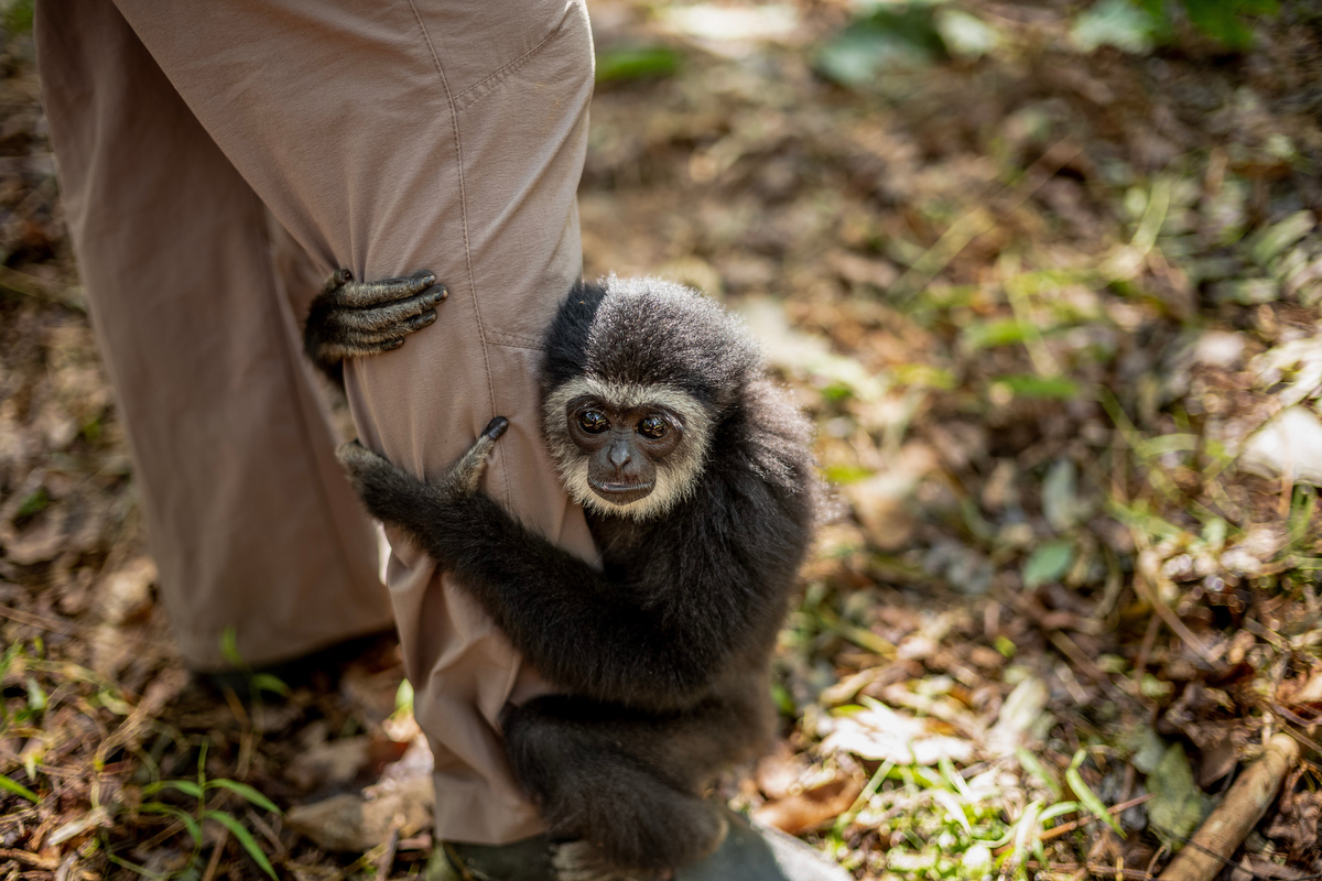 Gibbons not only include the most endangered apes but also the most endangered primate species of the world.