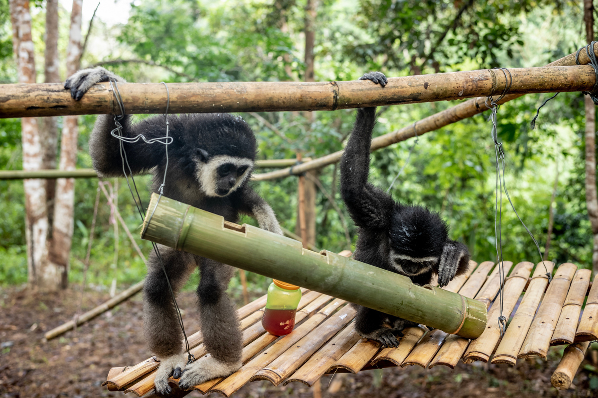 Bam and her team teach the young gibbons how to find food hidden in bamboo stalks.
