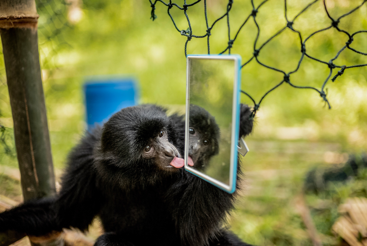 A visting siamang gibbon plays with a mirror near a newly constructed home in the jungle.