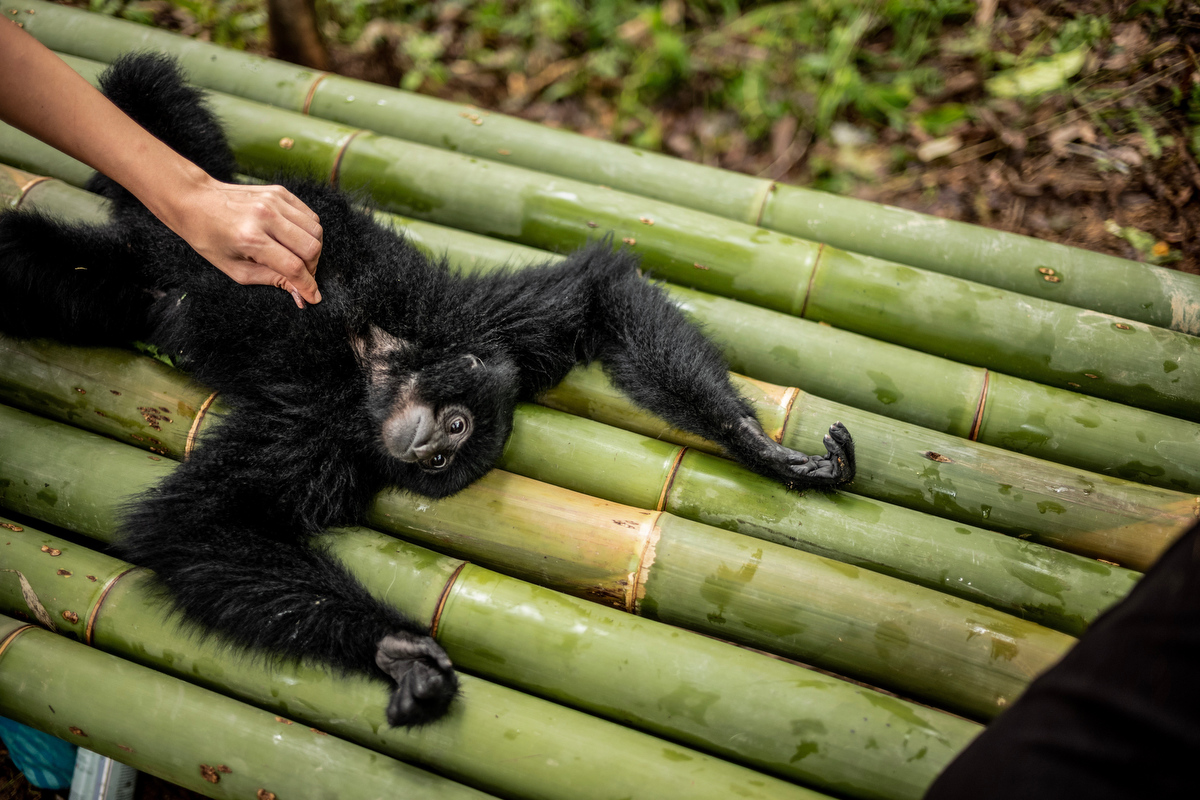A siamang gibbon visits the center to play with the other gibbons.  Bam and her team must work closely with the infant gibbons and then slowly wean them off of human contact to prepare them to live in nature again.