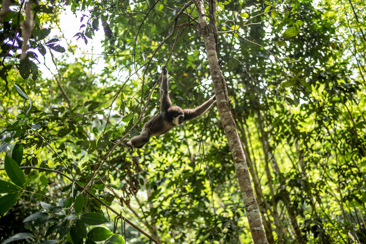 """Gibbons move about by way of """"brachiation"""", or swinging among the trees using their long arms – they, in fact, have the longest arms among all the primates."""