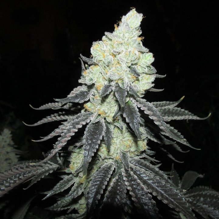 Chem4 x GSC pheno #15.JPG