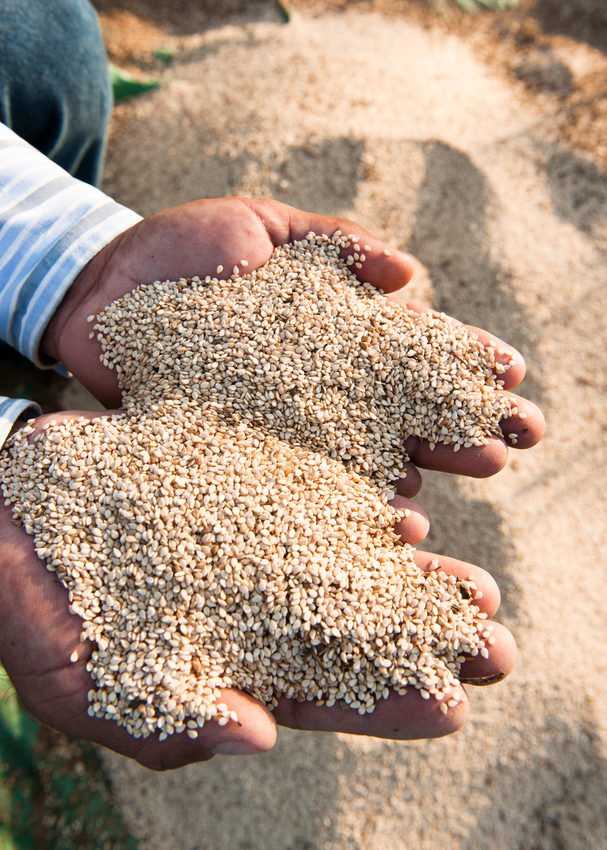 Sesame seeds being harvested in Mexico, photo courtasy of Weleda