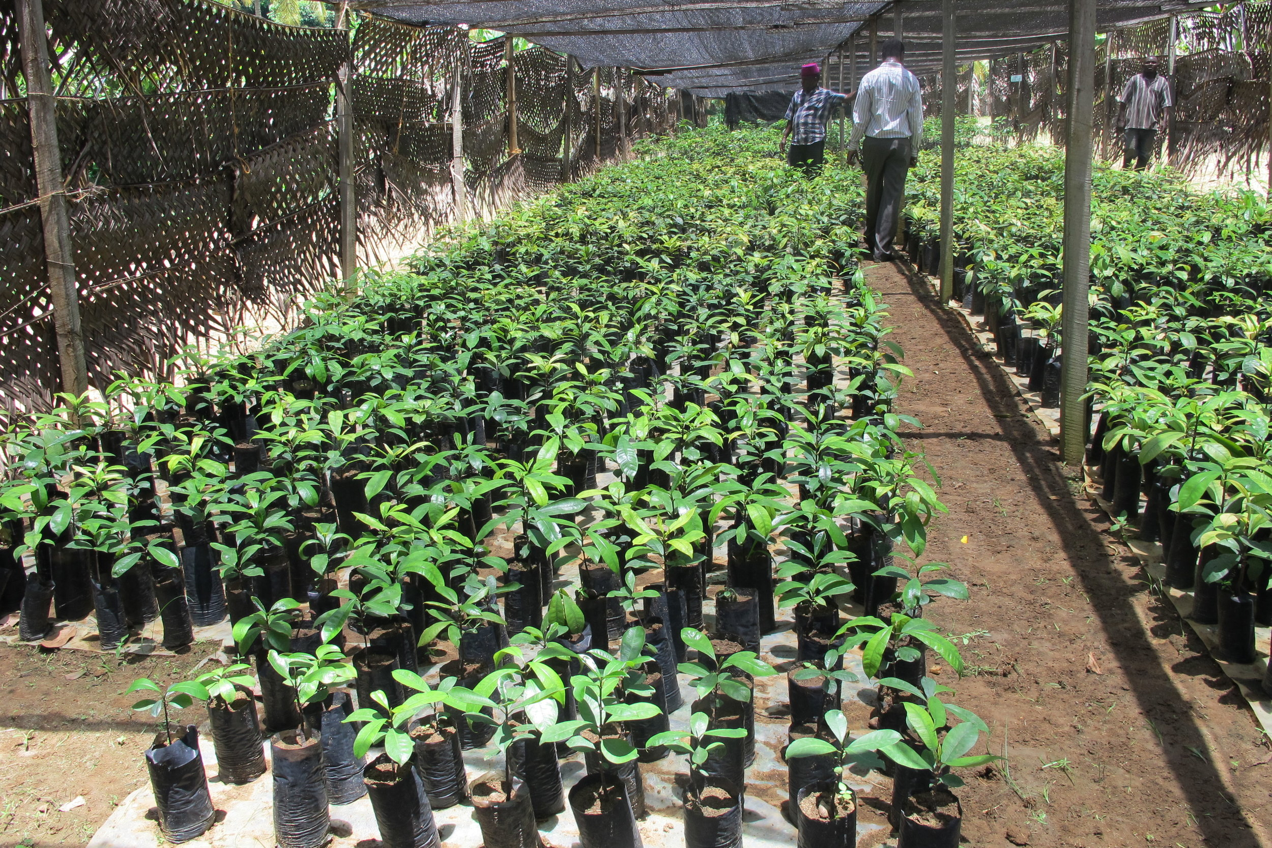 Allanblackia seedling nurseries