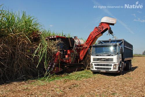 Harvesting raw cane