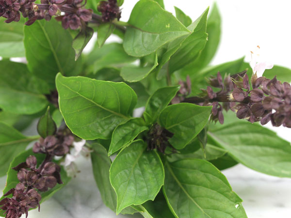 Thai-sweet-Basil-Herb-hb166 (1).jpg