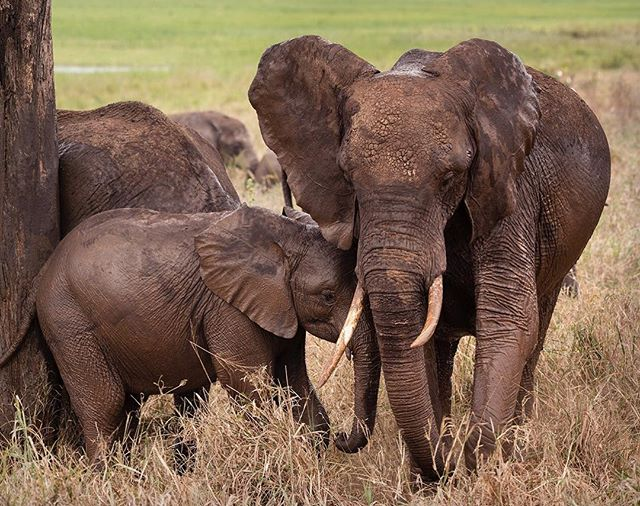 There's nothing like a mother's love, Elephants do family best #motherslove #tanzaniansafari #elephants #tanzaniadiscoverytours #elephantlovers #tarangirenationalpark Photo @diannasnape #diannasnapephotography