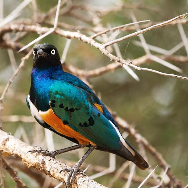 The iridescent colours of Tanzania's Superb Starling are truly amazing. These gorgeous birds are gregarious and generally rather tame #superbstarling #birdlife @tarangire_national_park 📷@diannasnape #diannasnapephotography