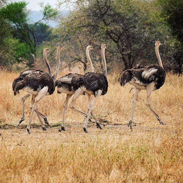 Ostriches are the largest living birds and can weigh up to 145kg. Totally flightless they can run at speeds of up to 70km/h, which makes them the worlds fastest two legged animal. The Tarangire has an abundance of Ostriches. Photo @diannasnape #birdwatchers #ostriches #tarangirenationalpark #tanzanianwildlife #africansafari #tanzaniadiscoverytours #diannasnapephotography