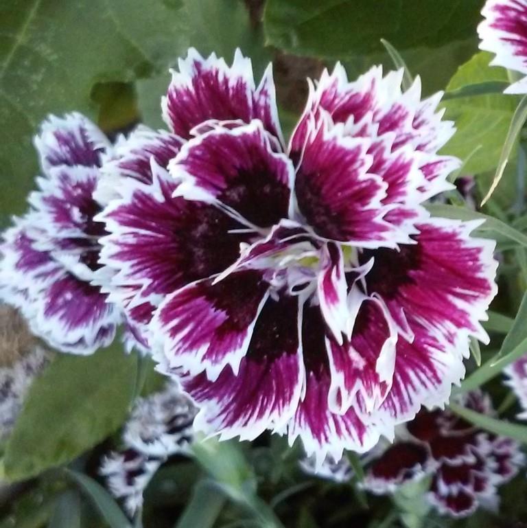 Black and White Carnation.jpg