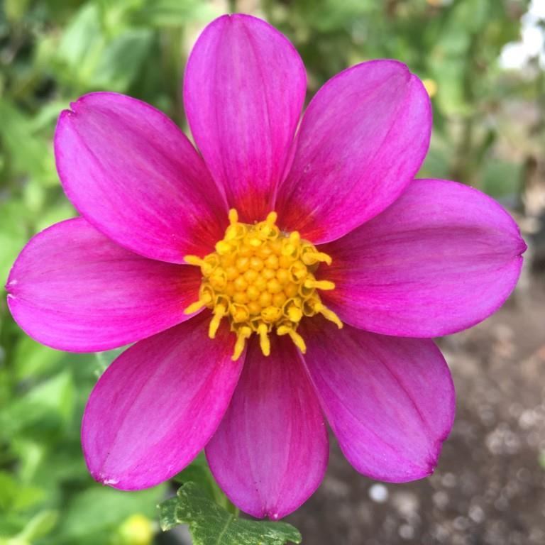 Dahlia - Bedding Dark Pink.JPG