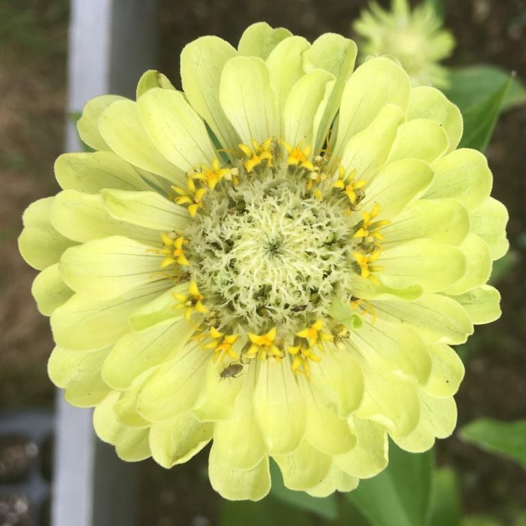 Yellow Green Zinnia.JPG