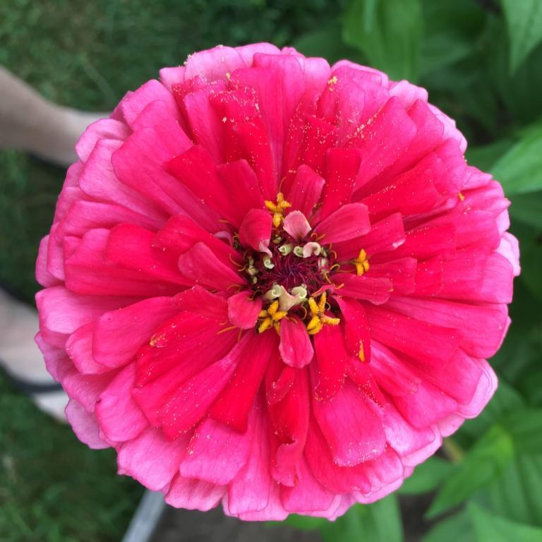 Zinnia  - Hot Pink.JPG