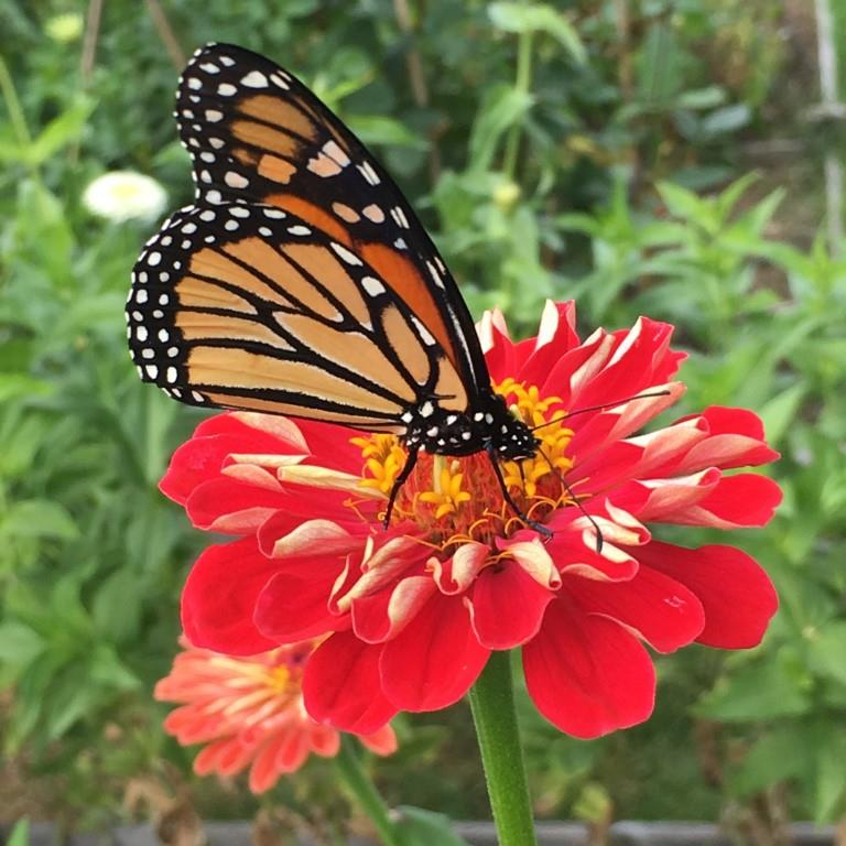Zinnia - Red with Butterfly.JPG