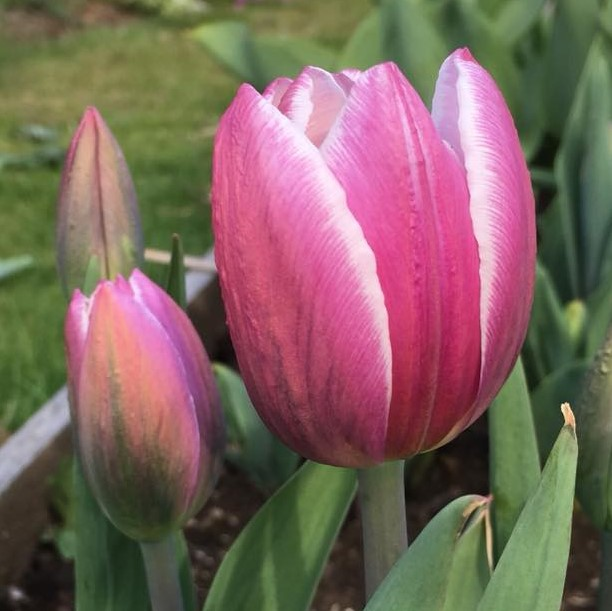 Tulip Syneda Blue.jpg