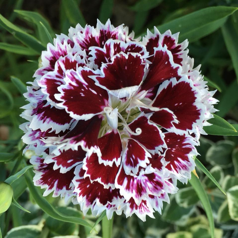 Dianthus Black and White.jpg