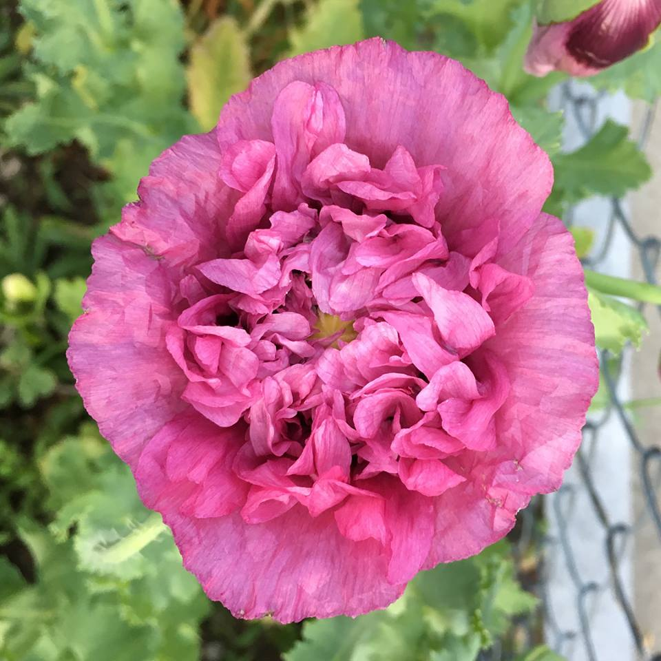 Poppy Pink.jpg