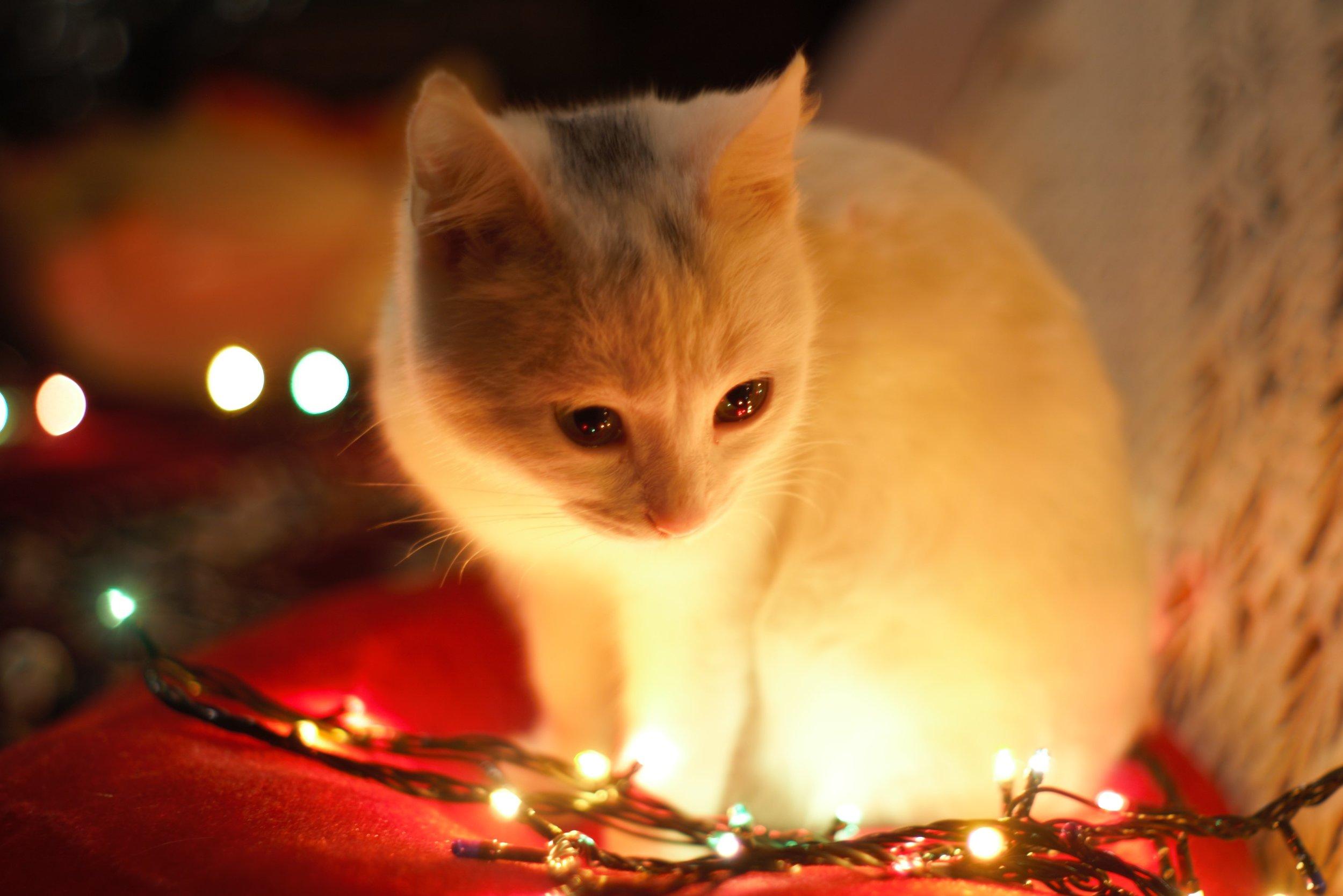 APL Christmas Cat