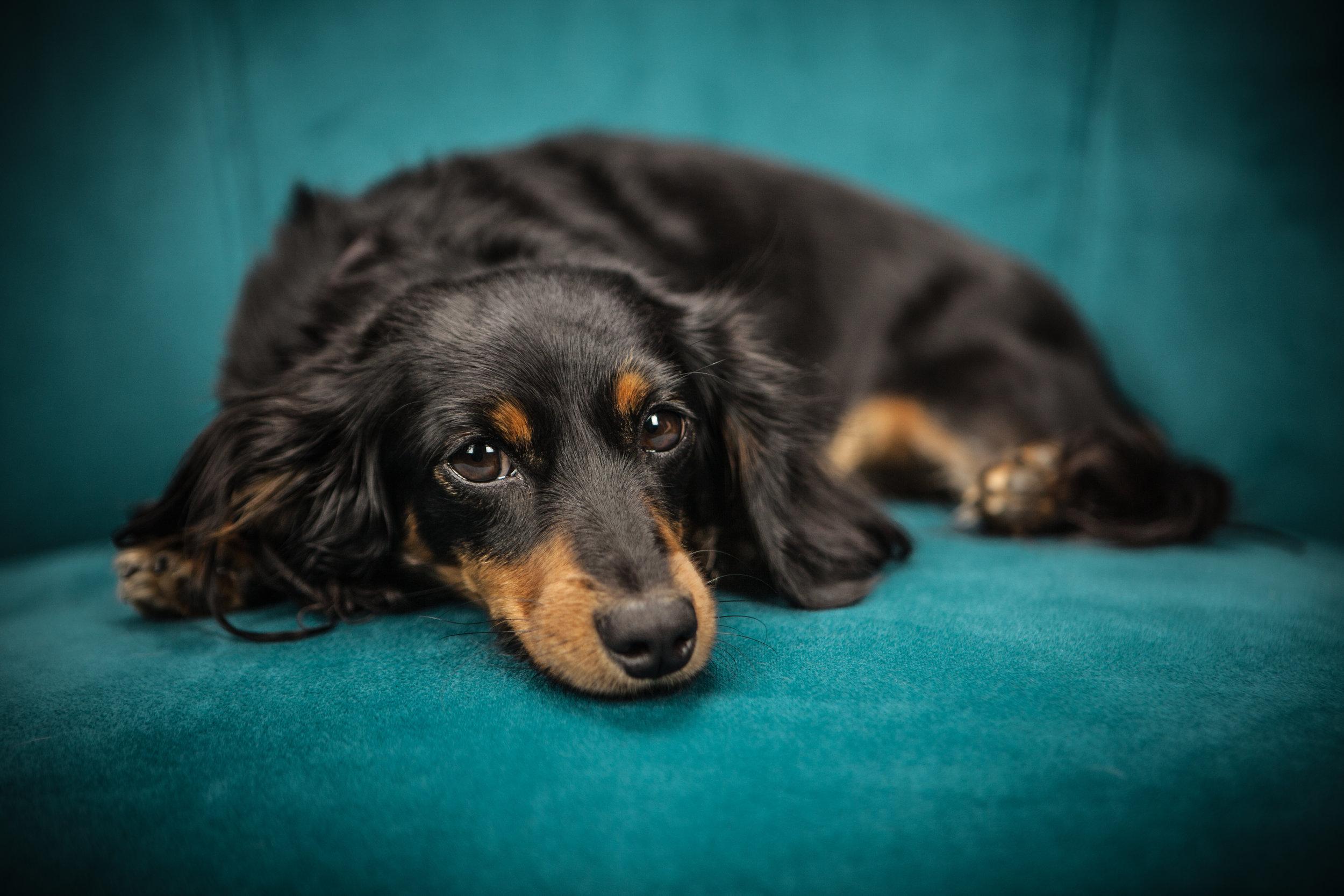 Depressed Dog APL