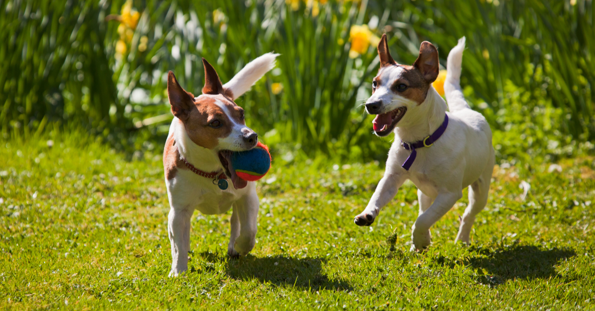Daffodils Cats and Dogs APL