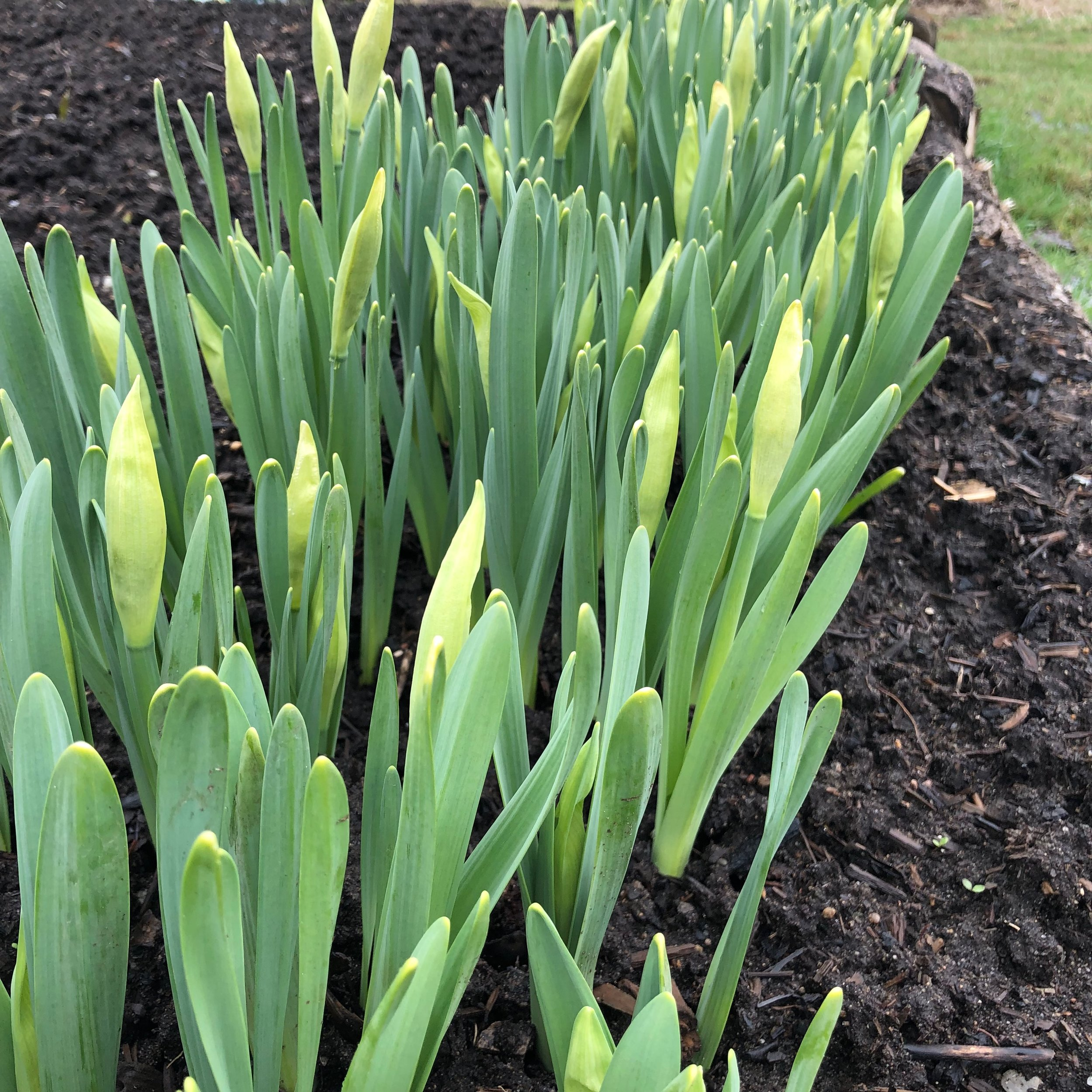 Petit Four Daffodils getting ready to bloom.