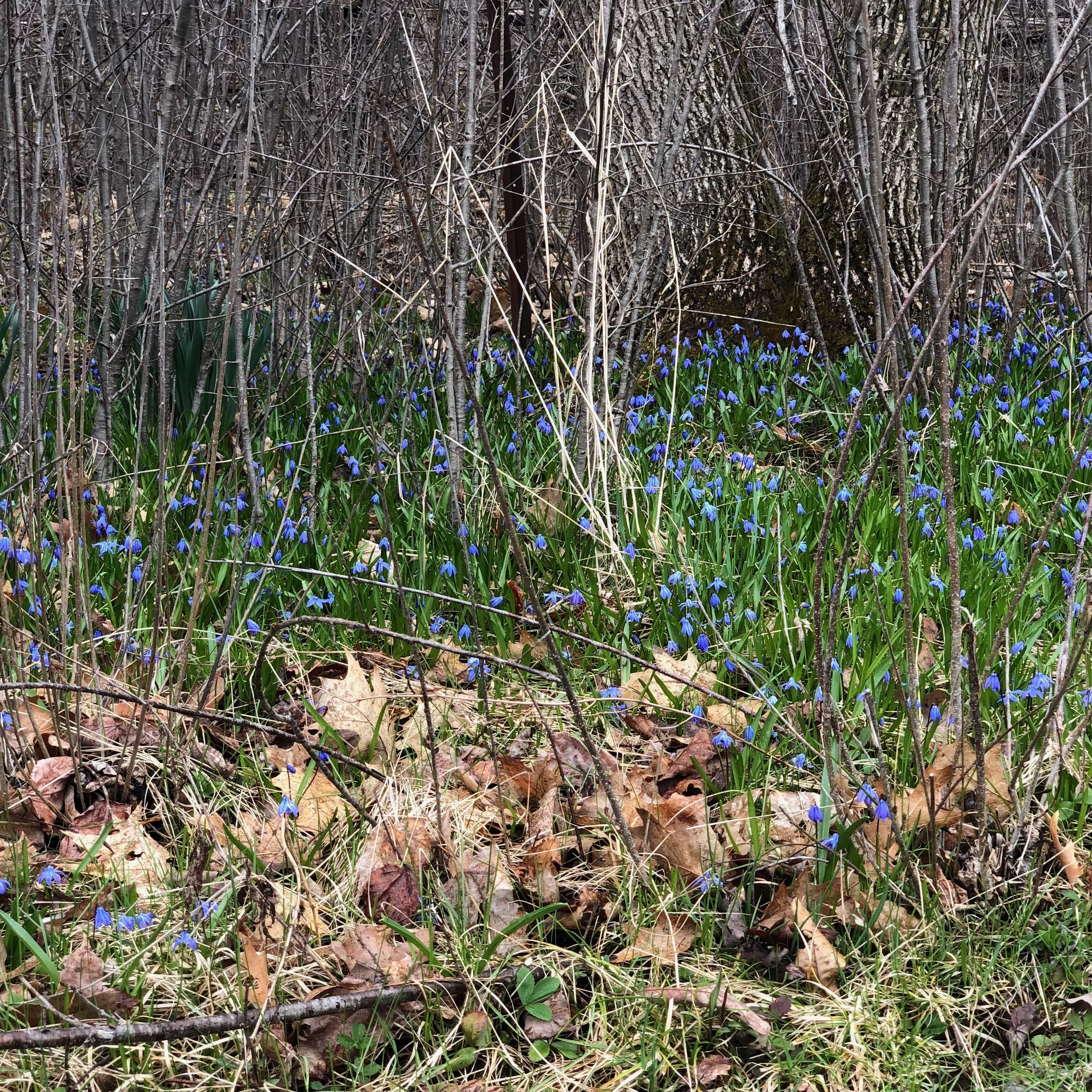Scilla - a handful planted out 25 years ago - now they are everywhere in the wooded area.
