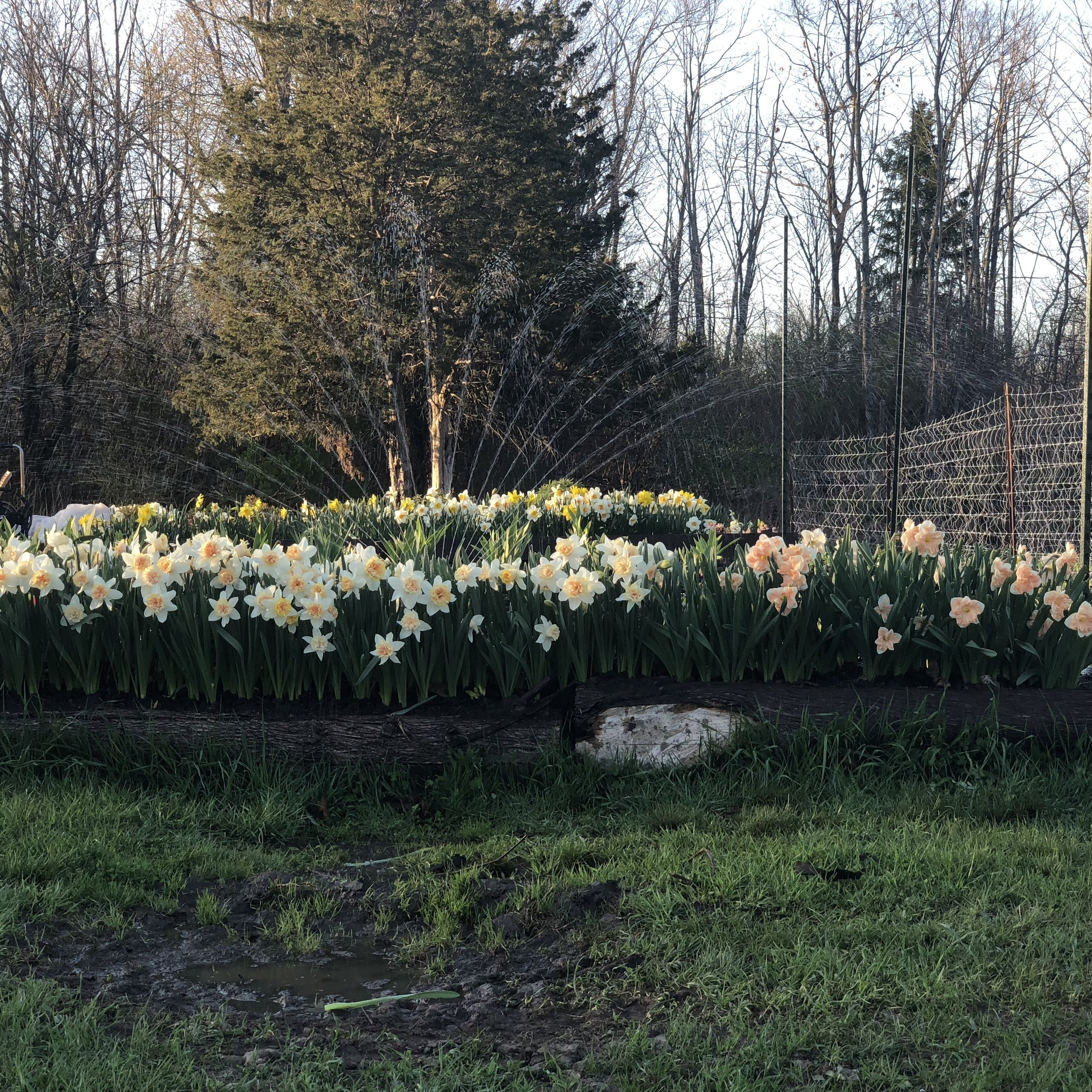 Front of perennial bed lined with daffodils and second row of daffodils is in front of a peony bed.