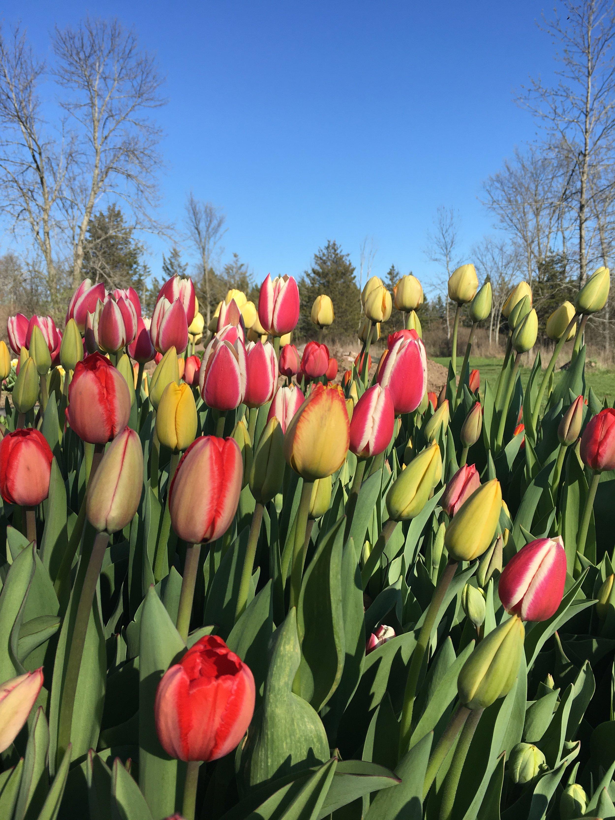 Darwin Hybrids and Triumph Tulips