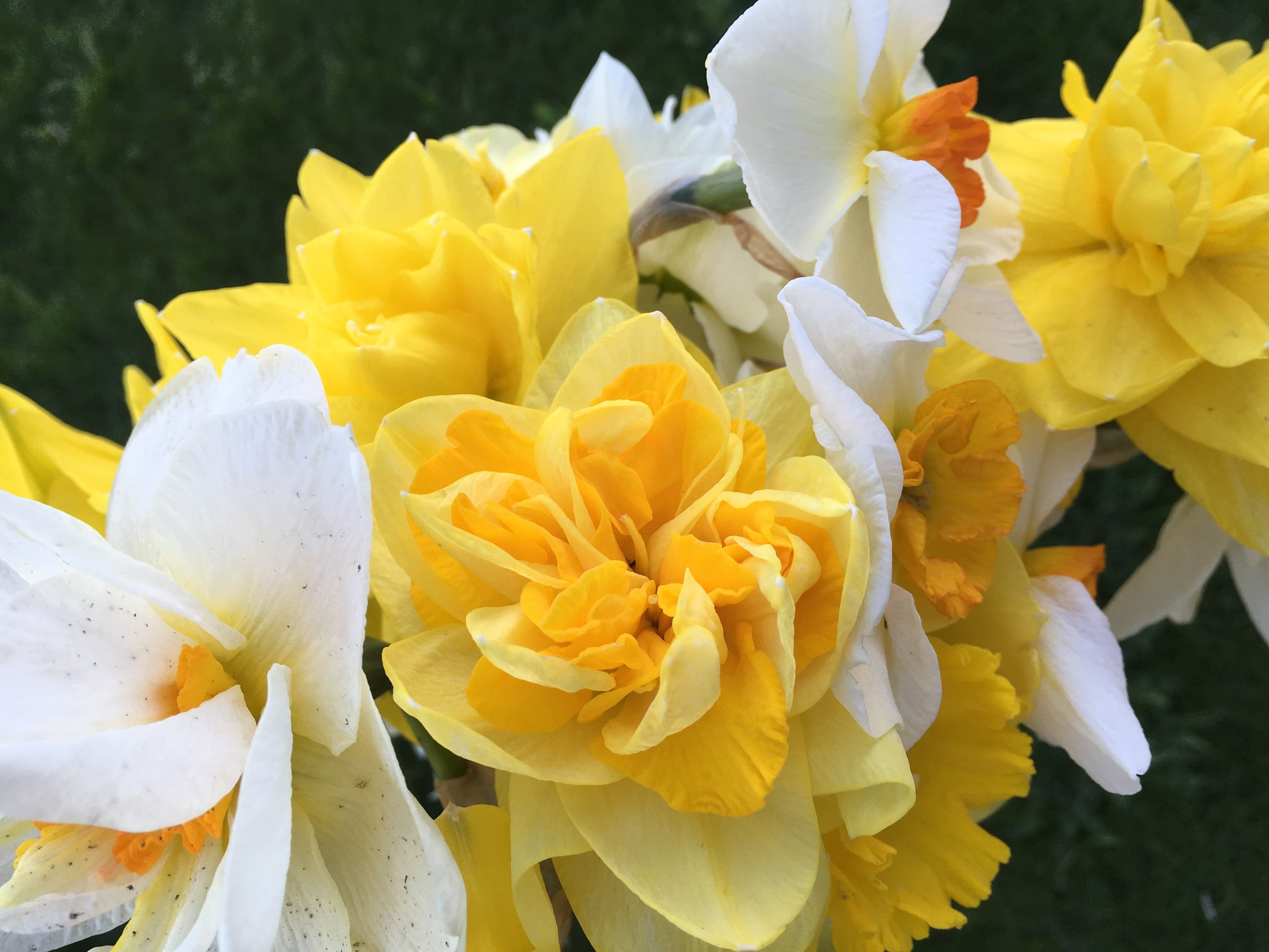 Assortment of colour and type of Daffodils