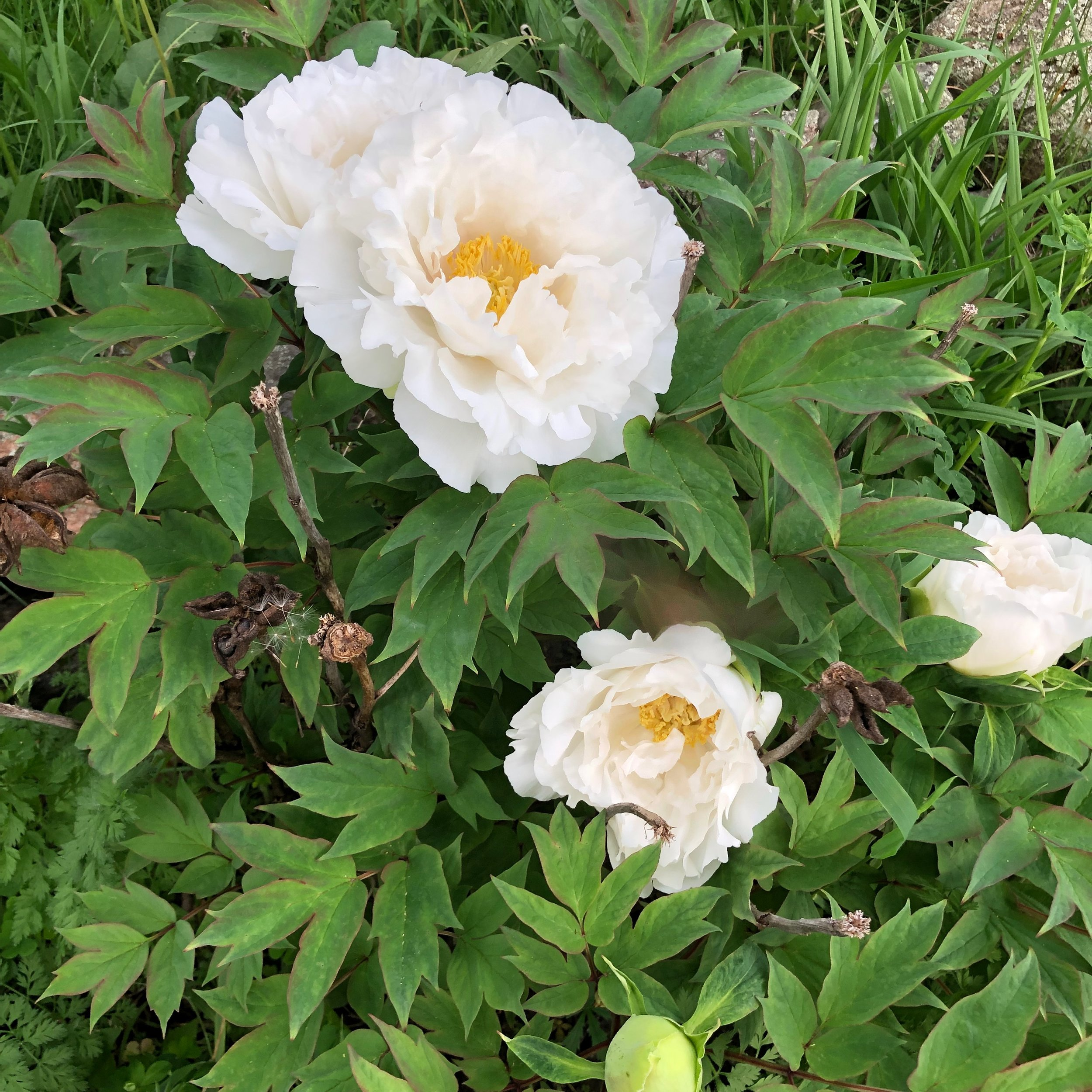 Tree Peony -I lost the name of this variety too! I have had them both for 18+ years. My mom had the same variety.