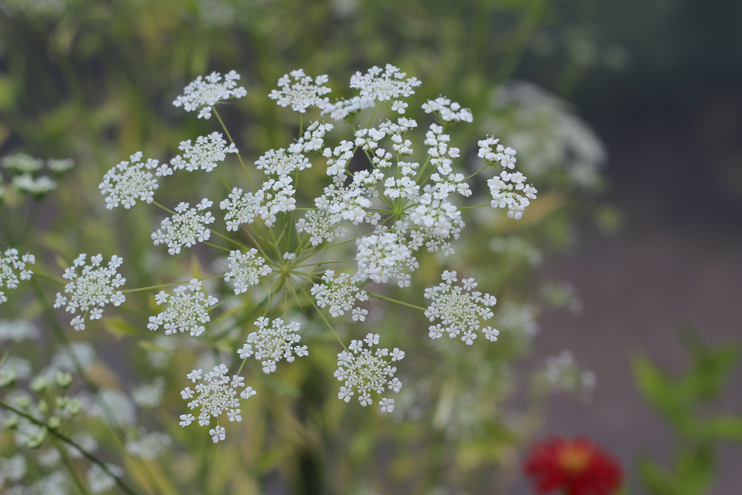Queen Anne's lace .jpg
