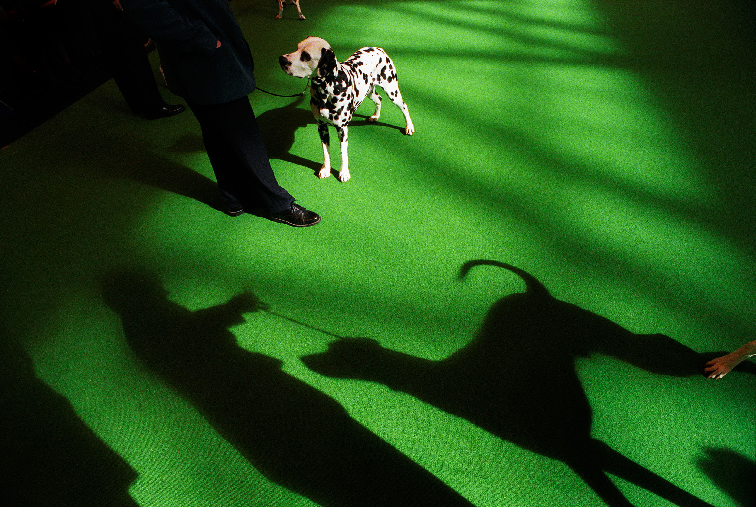 A shaft of sunlight casts shadows of dogs and owners on to the carpet of the judging ring at Crufts international dog show