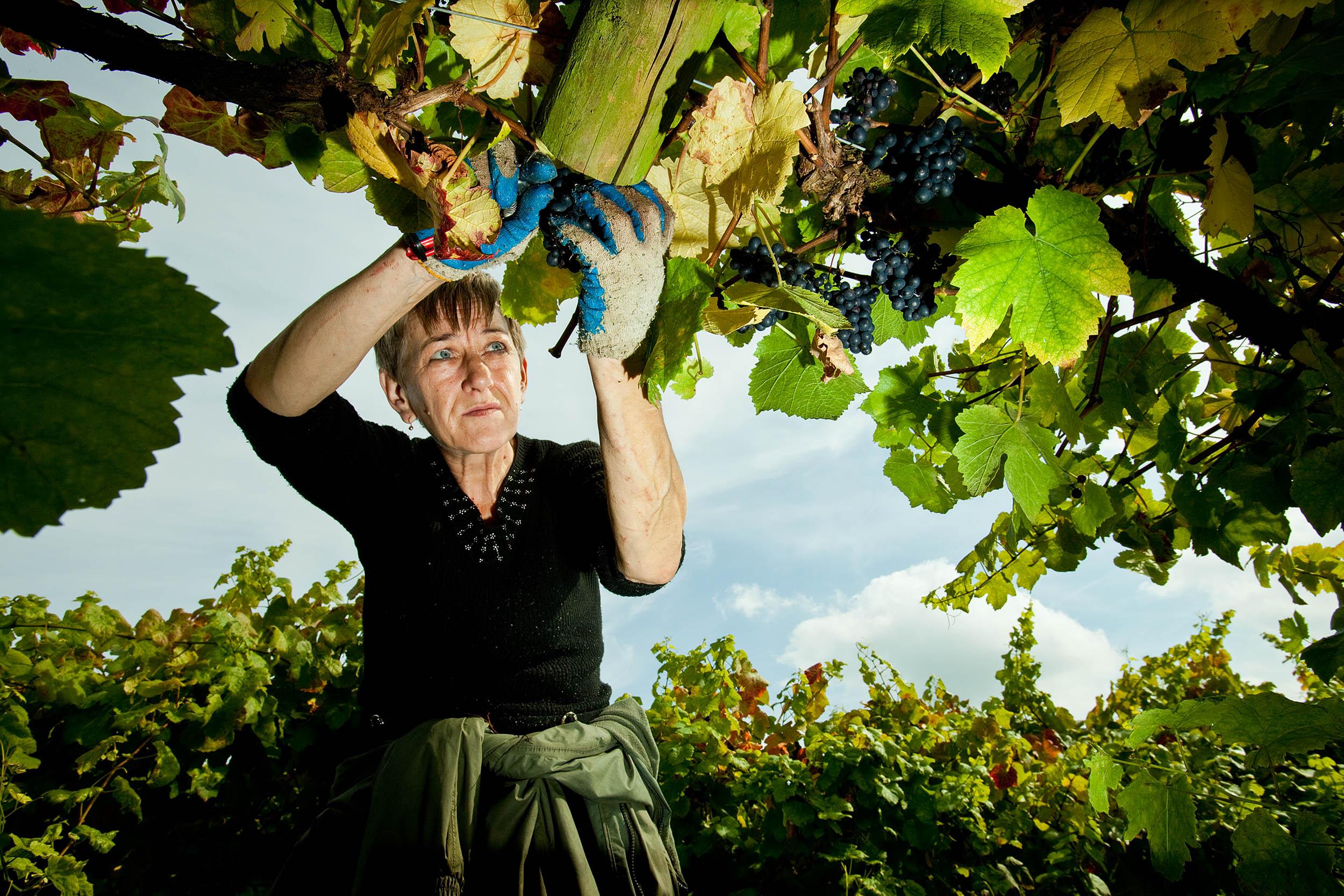Polish woman at work in an English vineyard
