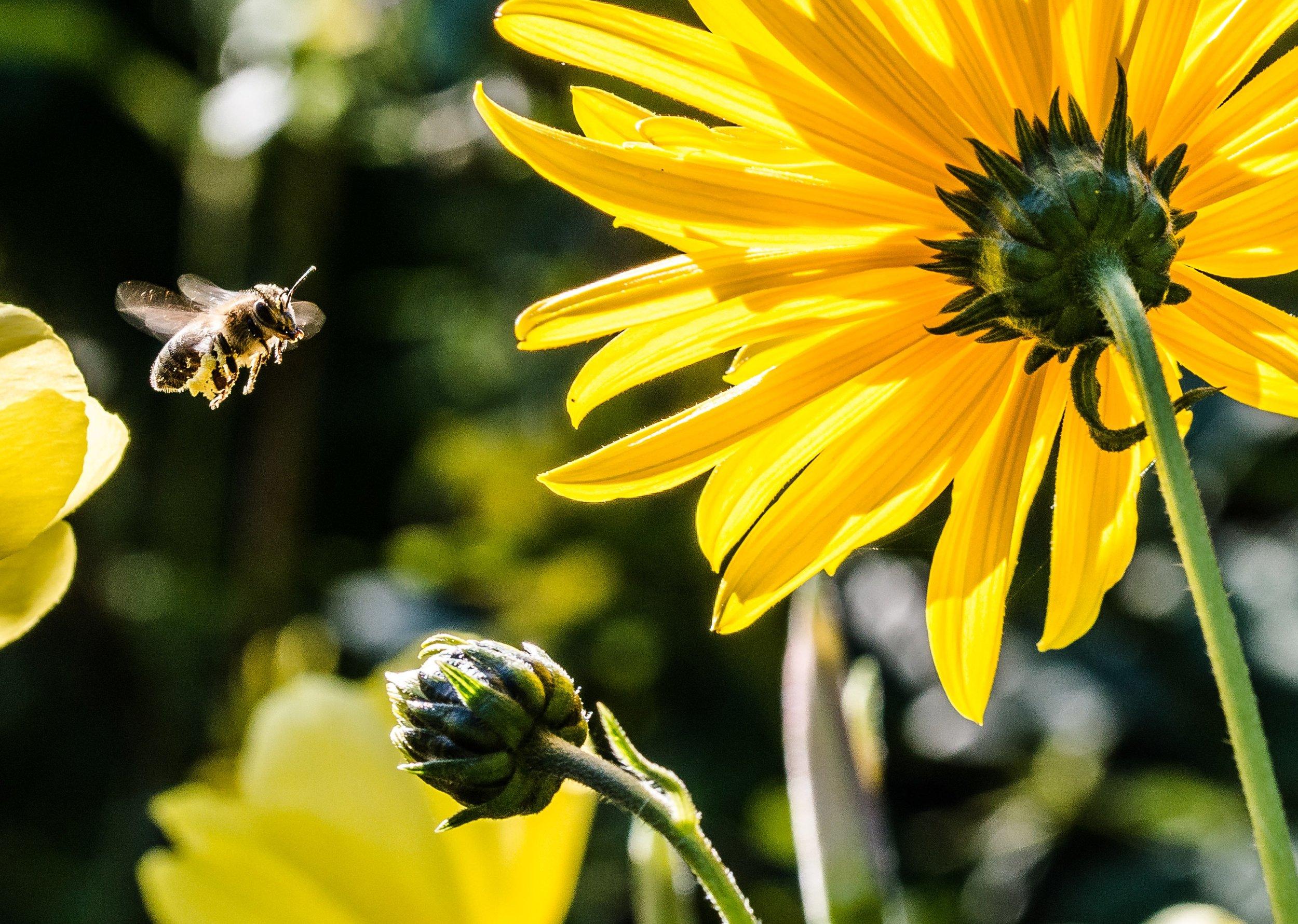 bee-in-the-approach-bee-apis-pollen-63641.jpeg