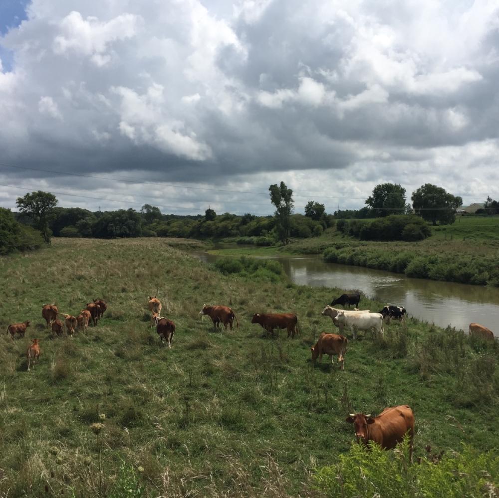 cows beside the nith.jpg
