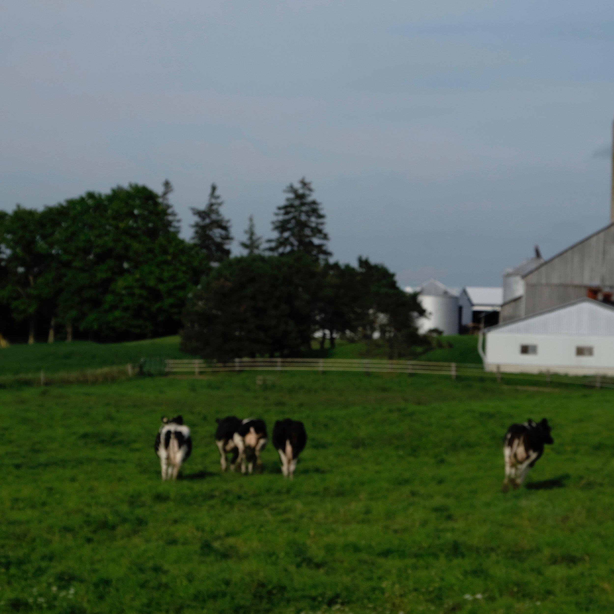 cows running away.jpg