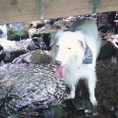 Challenge seeking refuge in the water of a cool stream on our 8 mile hike yesterday-note his swag!