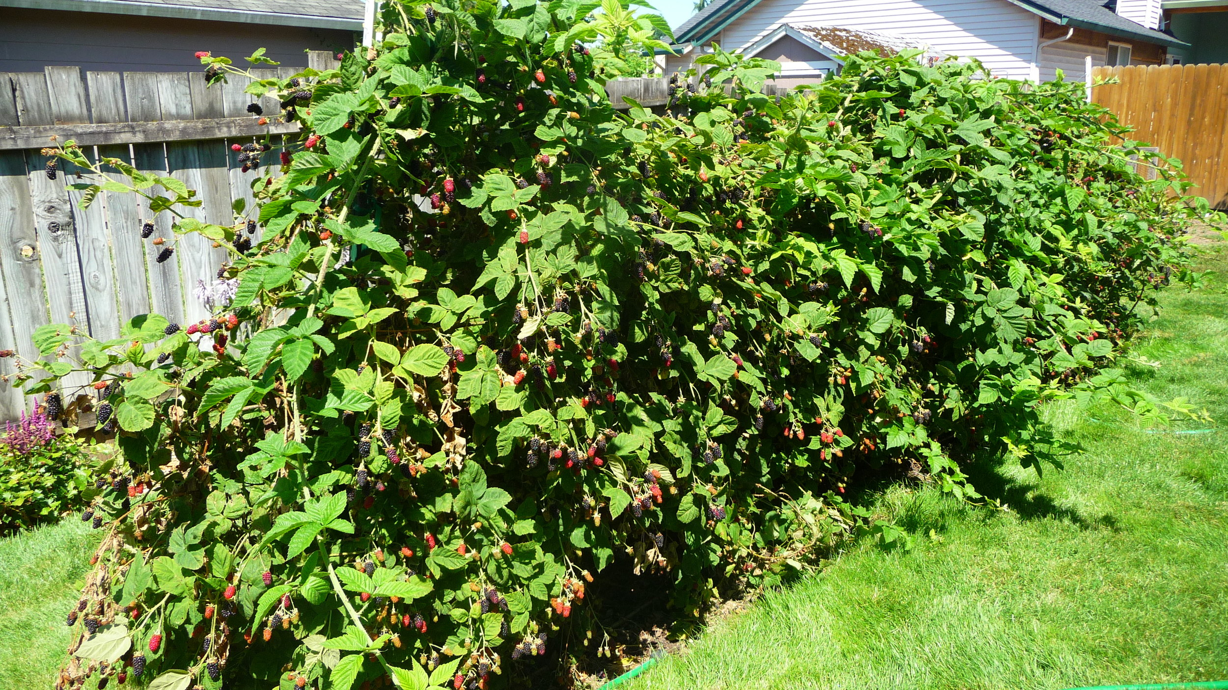 Our backyard marionberry patch with berries just right for picking.