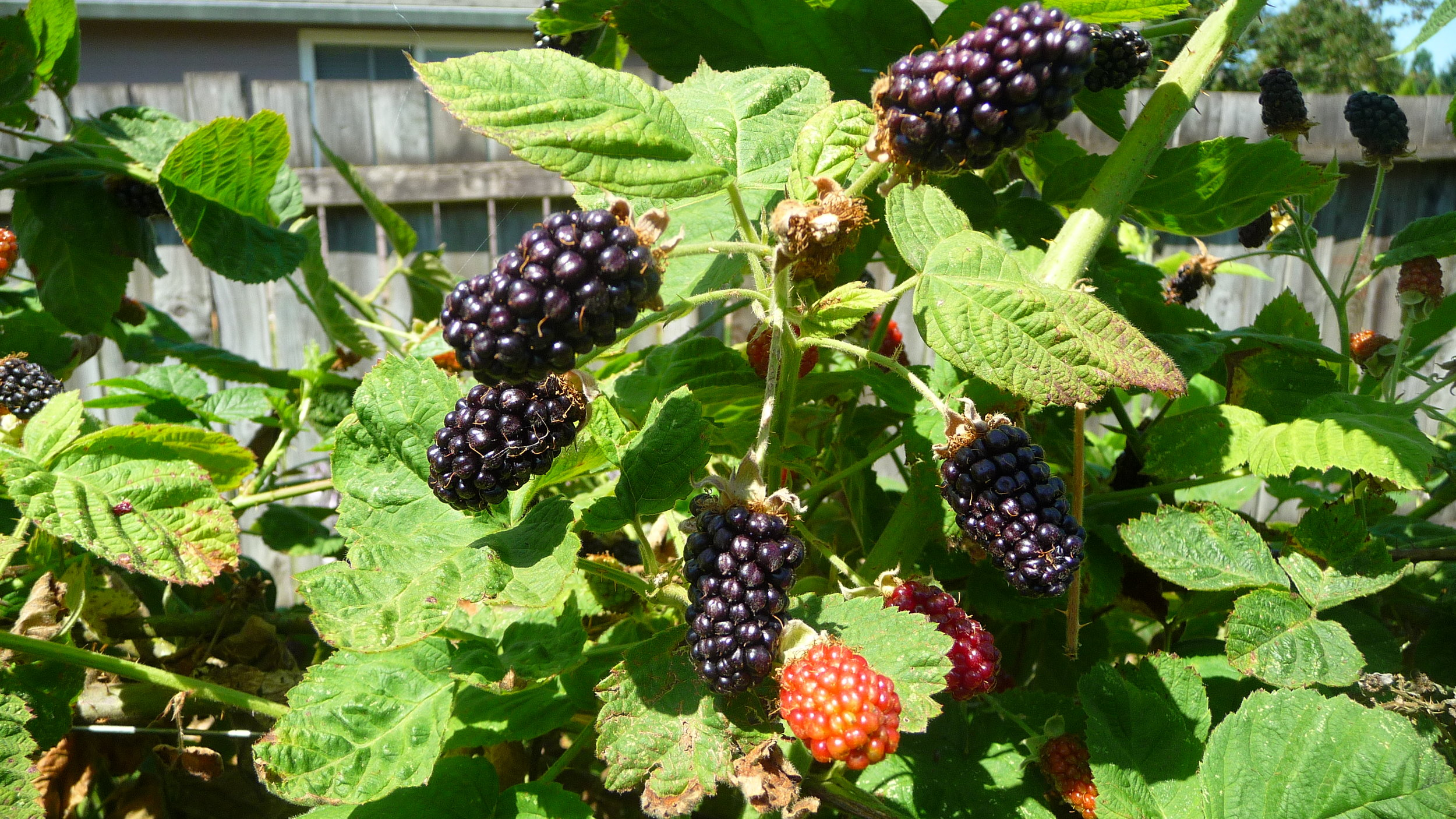 Marionberries the size of my thumb. What a blessing.