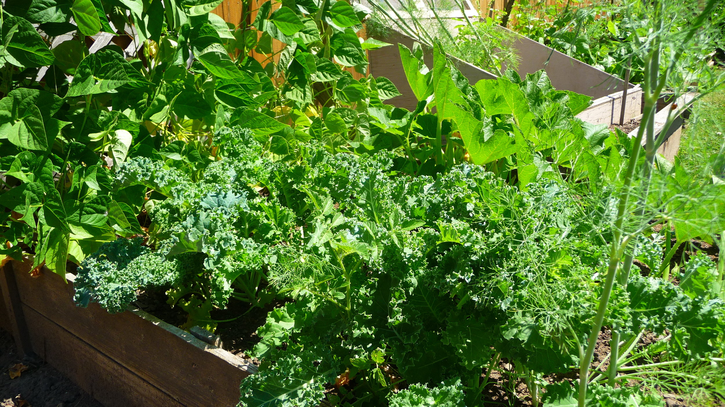 Nutrient-packed kale growing in our garden amongst dill and other treats.