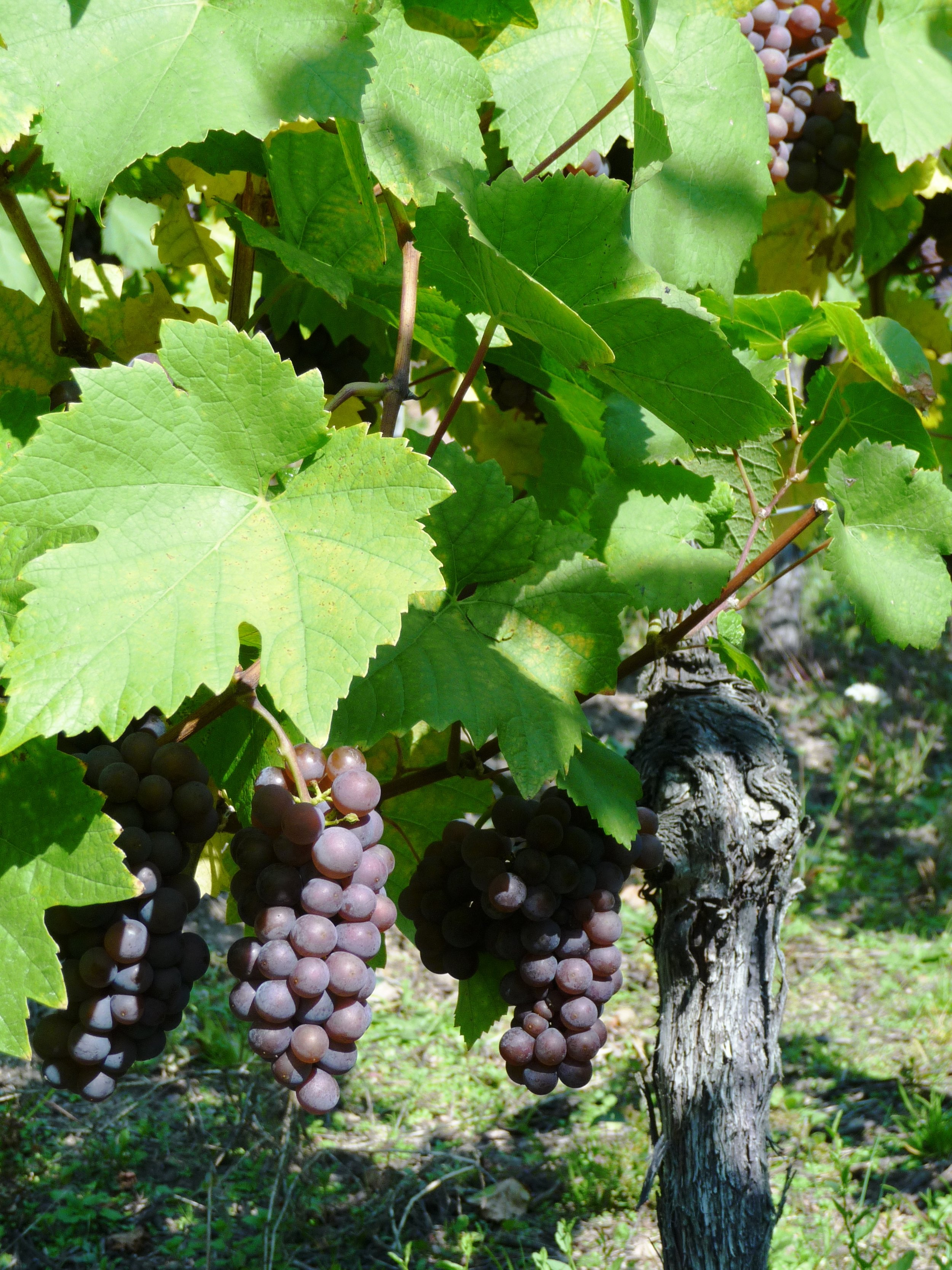 Pinot gris grapes in the Grand Cru Wineck-Schlossberg along the Alsace-route-des-vines, a stone's throw from the Wineck Castle ruins (circa 1200).