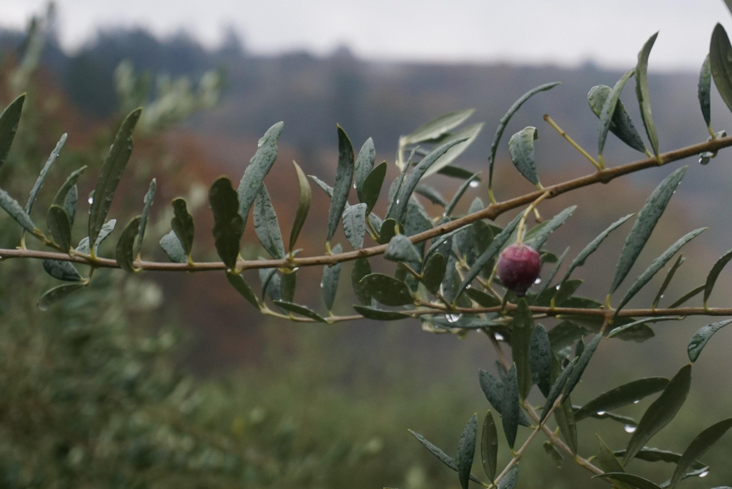 Oregon-Olive-Mill-olive.jpg