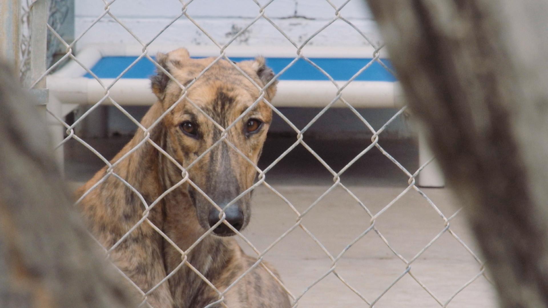 Greyhound Adoption League of Texas - Mobile 30